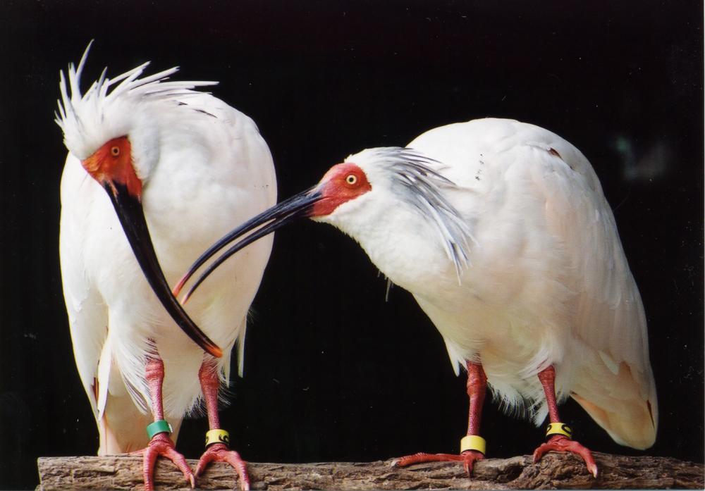 日本の国鳥はなんでしょう? ※トキではありません。   神楽坂不動産 ...